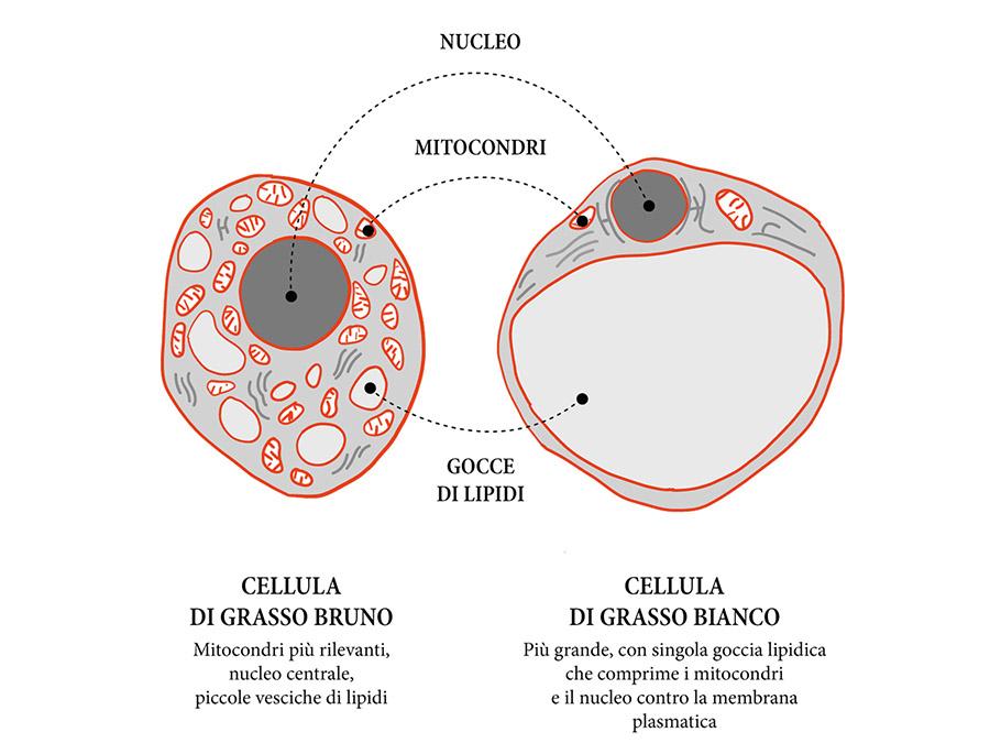 Cellule grasso